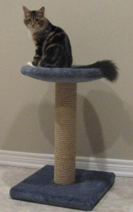 CT120BlueWithMaineCoon small